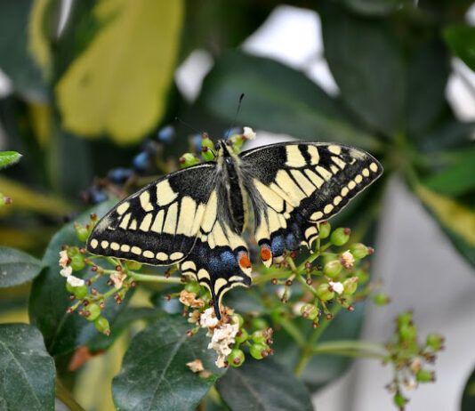 Χαϊδάρι Σήμερα Μαγικά φτερουγίσματα. Οι 35 πεταλούδες του όρους Αιγάλεω – Ποικίλου σε υπέροχες φωτογραφίες 1