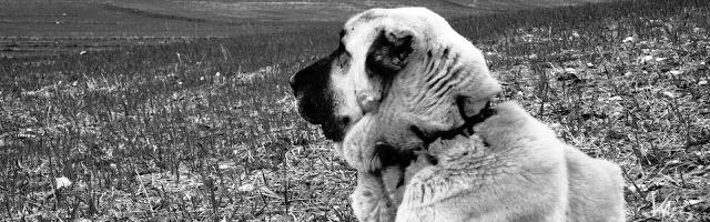 Ελληνικός Ποιμενικός: Ο μοναδικός σκύλος που παλεύει με την αρκούδα! 1
