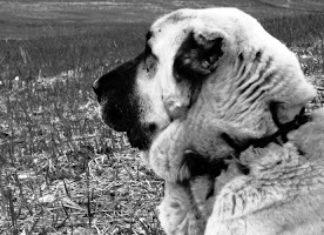 Χαϊδάρι Σήμερα Ελληνικός Ποιμενικός, ο σκύλος που δεν διστάζει να παλέψει με την αρκούδα 8