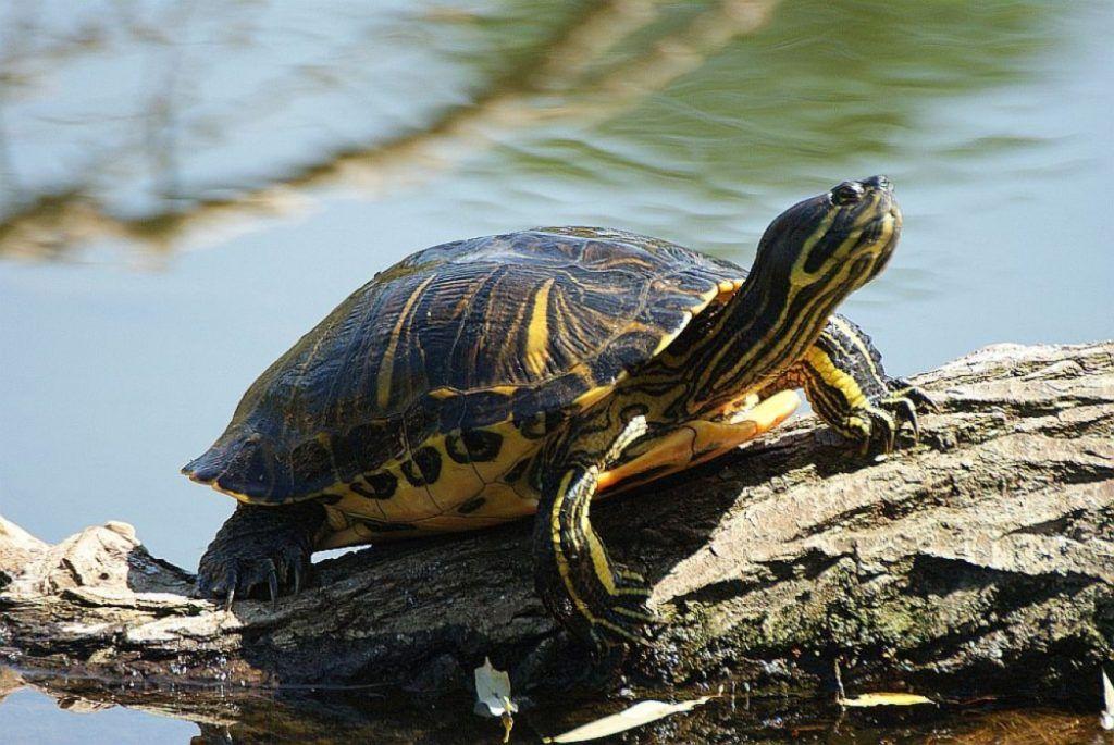 Χαϊδάρι Σήμερα Οι αμερικάνικες νεροχελώνες απειλούν και τη λίμνη Κουμουνδούρου
